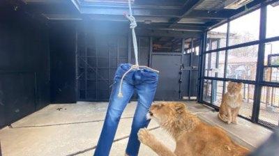 Зоопарк «Северное Сафари Саппоро» на острове Хоккайдо предлагает купить джинсы, которые порвали львы