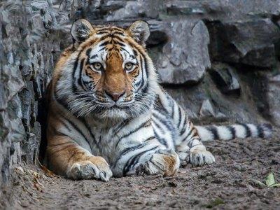 В Хабаровском крае может исчезнуть уникальная группировка амурских тигров, заявляют экологи
